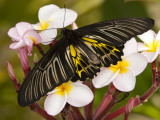 The Golden Birdwing  Khon Kaen  Thailand