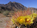Blooming Barrel Cactus at Anza-Borrego Desert State Park  California  USA