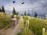 Mountain Biker Through the Beargrass on the Summit Trail  Whitefish Mountain Resort  Montana  USA