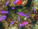 Fairy Basslets in Milne Bay  Papua New Guinea