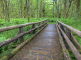 Maple Glade Trail Wooden Bridge  Quinault Rain Forest  Olympic National Park  Washington  USA