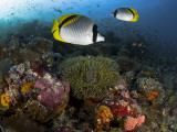 Lined Butterflyfish Swim Over Reef Corals  Komodo National Park  Indonesia