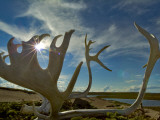 Caribou Antlers on the Sandy Ground in the Northwest Territories  Canada