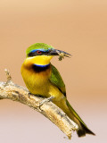 Little Bee-Eater Bird on Limb With Bee in Beak  Kenya