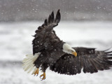 Bald Eagle Flies in Snowstorm  Chilkat Bald Eagle Preserve  Alaska  USA