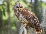 Barred Owl in Old Growth East Texas Forest With Spanish Moss  Caddo Lake  Texas  USA
