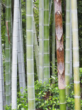 Bamboo at Shukkei-En Garden  Hiroshima  Japan