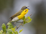 Yellow-Breasted Chat Singing on Breeding Territory  Central Texas  USA