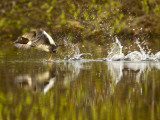 Common Goldeneye Takes From Calm Water on Lazy Creek Near Whitefish  Montana  USA