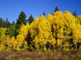 Aspens in Fall  Rocky Mountain National Park  Colorado  USA