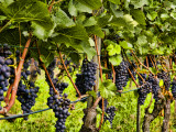 Close Up of Grapes at Hofkellerei Winery  Liechtenstein