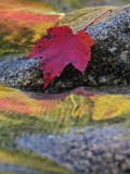 Red Maple Leaf on Rock in Swift River  White Mountain National Forest  New Hampshire  USA