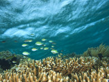 Damselfish  Tukang Besi/Wakatobi Archipelago Marine Preserve  South Sulawesi  Indonesia