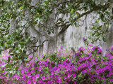 Azaleas and Live Oak Trees Draped in Spanish Moss  Middleton Place Plantation  South Carolina  USA