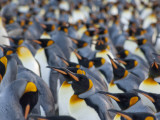 King Penguin Colony  Gold Harbor  South Georgia Island