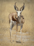 Front View of Standing Springbok  Etosha National Park  Namibia  Africa