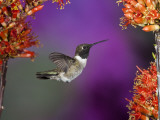 Black-Chinned Hummingbird  Arizona  USA