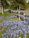 Lone Oak Tree Along Fence Line With Spring Bluebonnets  Texas  USA