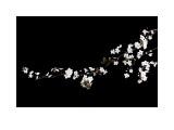 Branch of White Blossom