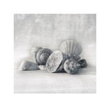 Still Life of Shells I