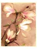 Magnolia and Cream II