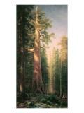 Giant Trees  Mariposa Grove  California