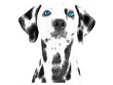 Dalmatian Date VI