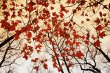 Bare Branches and Red Maple Leaves