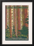 Giant Redwoods  Redwood National Park  California