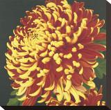 Chrysanthemum  no 2