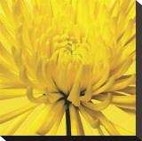 Yellow Mum IV