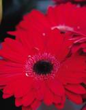 Red Gerbera Daisies II