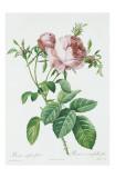 Redeoute Rosa Centifolia Foliacea
