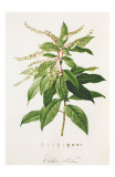 Redoute Clethra Arborea