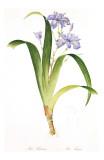 Redoute Iris Fimbriata