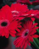 Red Gerbera Daisies I