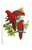 Red and Blue Lory no 53
