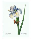 Redoute Iris Hiphium
