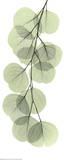 X-Ray Eucalyptus Branch II