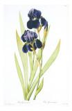 Redoute Iris Germanica