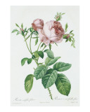 Redeoute Rosa Centifolia Foliacea