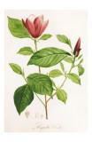 Redoute Magnolia Discolor