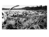 Iliamna  Alaska - View of a Reindeer Herd