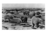Alaska - Polar Bears on Arctic Ice Float