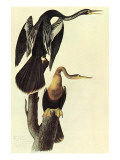 Anhinga