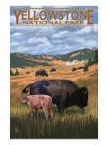 Bison and Calf Grazing - Yellowstone National Park