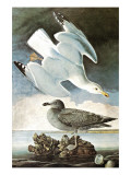 Herring Gull &amp; Black Duck
