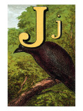 J For the Jackdaw  Perky And Bold