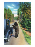 Yellowstone Nat&#39;l Park  Wyoming - Bear Begging by a Car