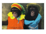 St Louis  Missouri - Forest Park Zoo Chimpanzees in Costume